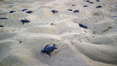 Caretta caretta record: 121 piccoli nati sulla spiaggia di Scoglitti