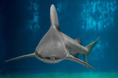 A rischio gli squali nel Mediterraneo