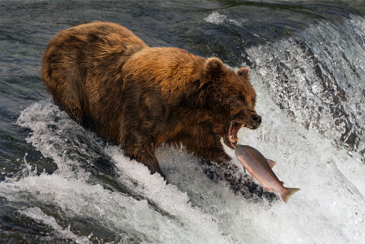 orso caccia salmone