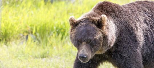 orso salva bambino