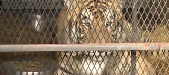 Vanno in una casa abbandonataHoustonper fumare dell'erba, trovano una tigre